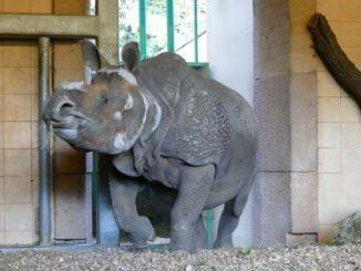 Nashorn Belur im Tiergarten Nuernberg
