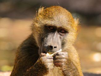 affe_tier_mensch_menschenaffe_monkey