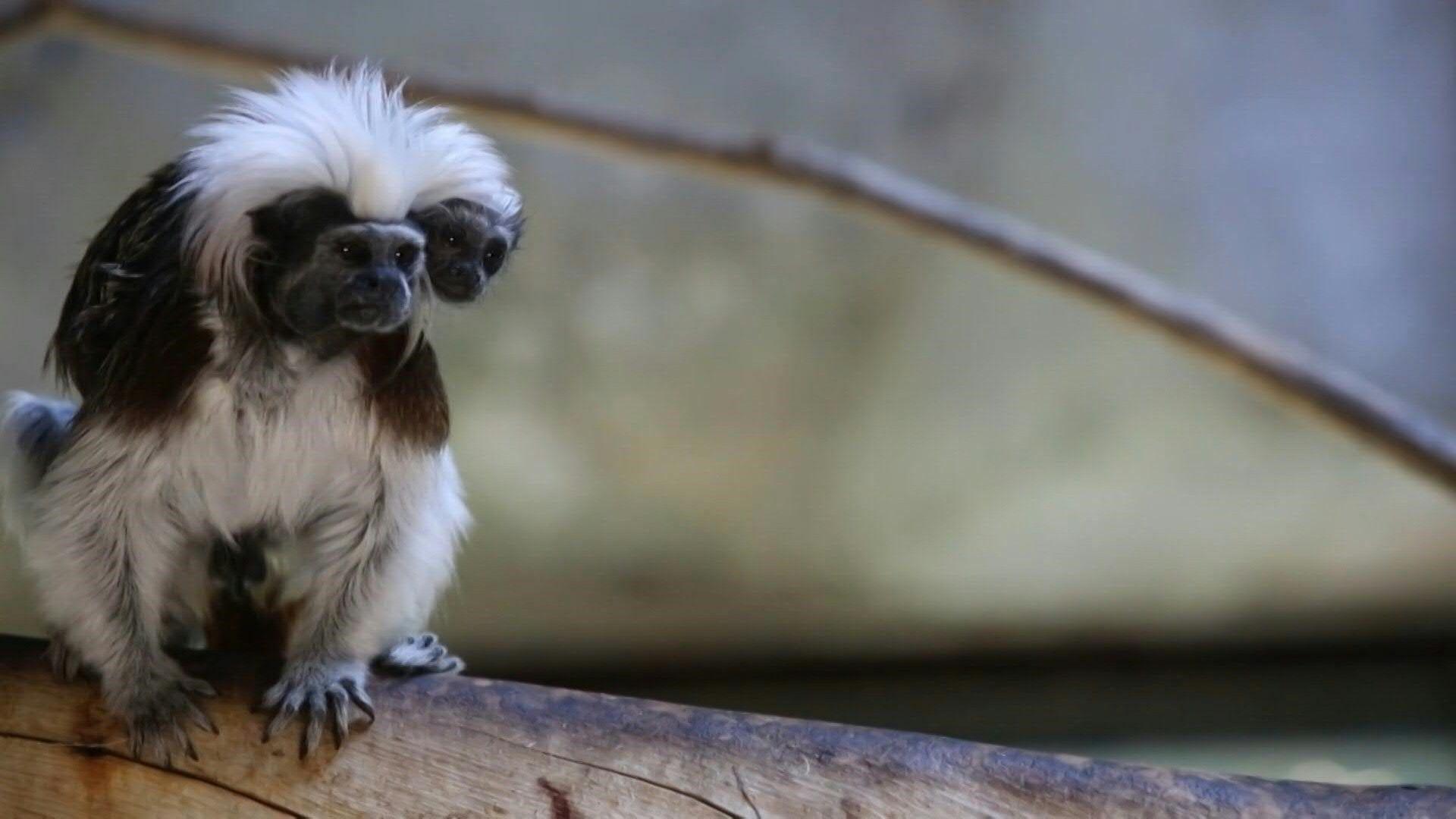 nachwuchs_zoo_mexiko_lisztaffen