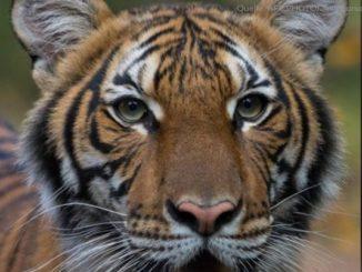 tiger_tiergarten_newyork