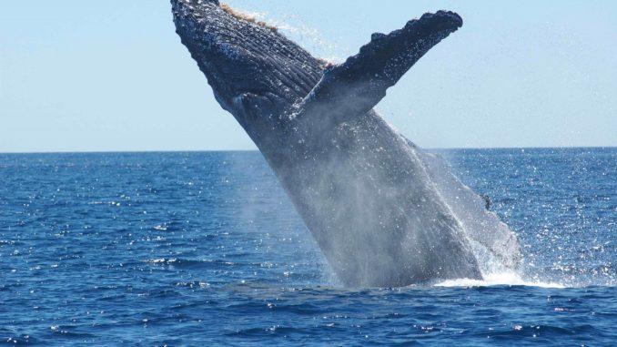 Gambar simbolis: paus bungkuk di laut