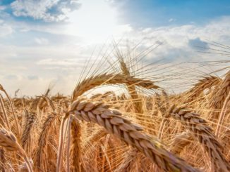 Symbolbild: Weizen
